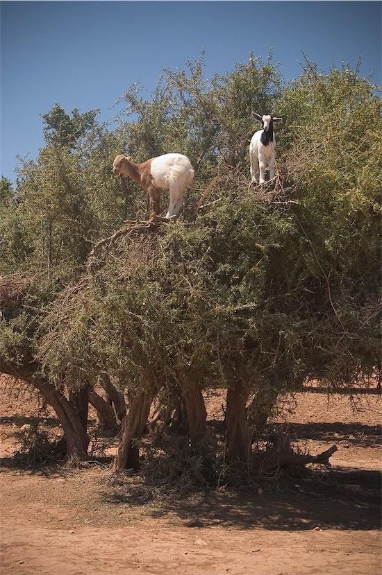 23 albero argan con capre